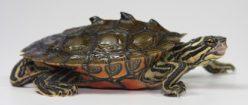 Höckerschildkröten
