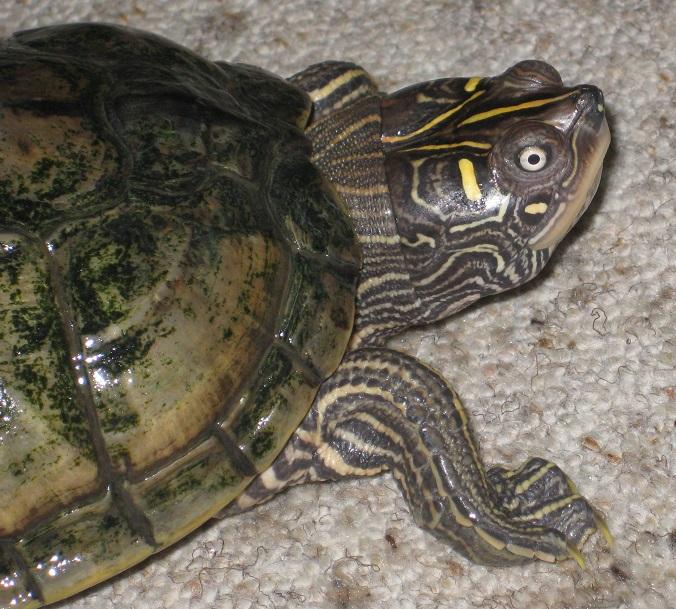 Höckerschildkröten-Mischling