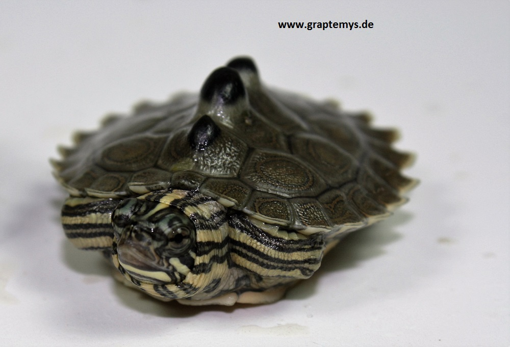 frisch geschlüpfte Schwarzknopf-Höckerschildkröte