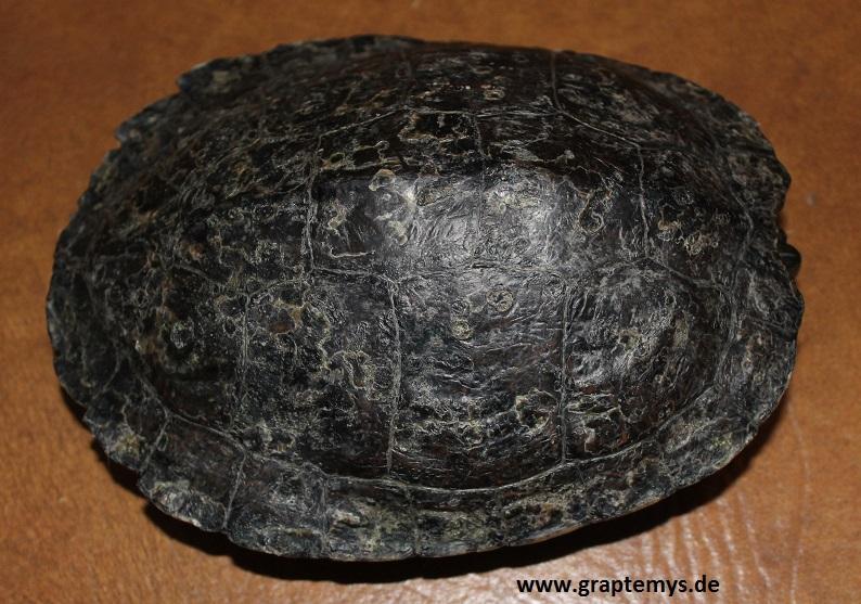 Eine Höckerschildkröte die jahrelang in einem Teich gehalten wurde. Das Tier ist völlig schwarz geworden.