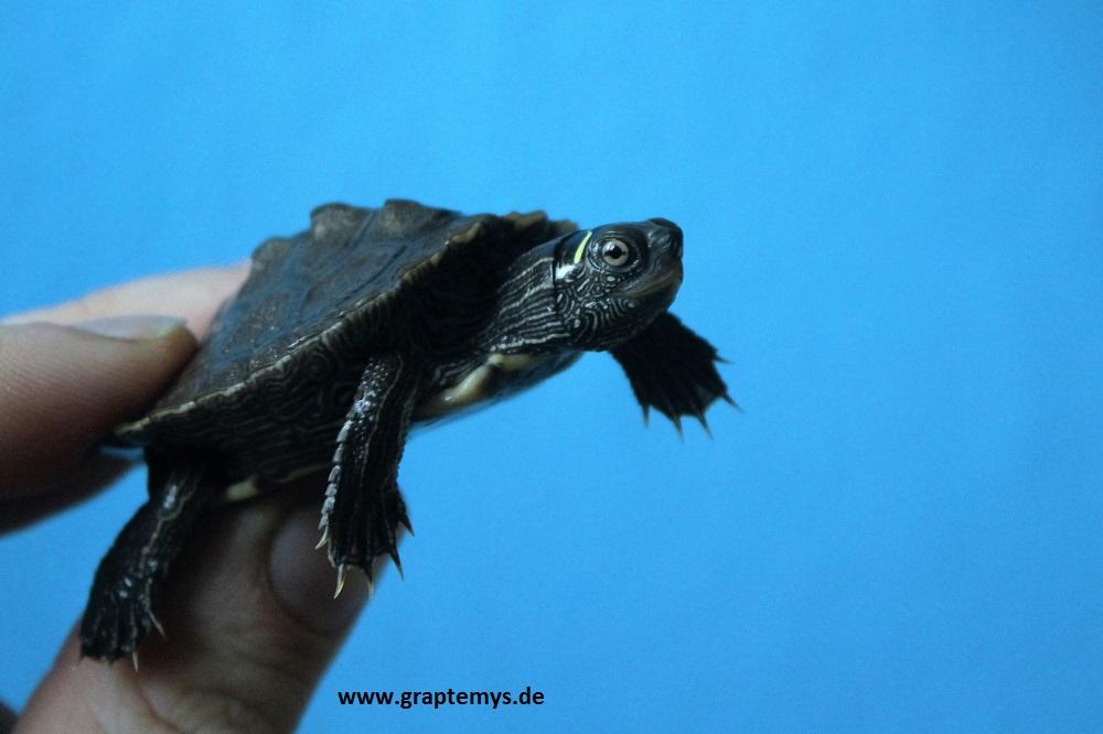 Schlüpfling einer Falschen Landkarten-Höckerschildkröte