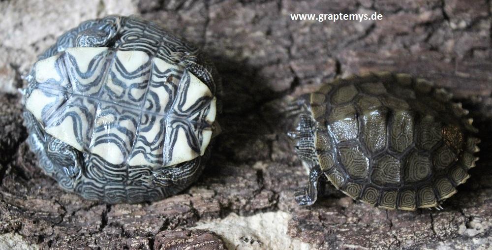 Höckerschildkröten-Schlüpflinge, Verkaufsgröße