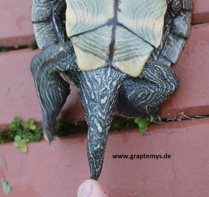 Schwanz einer männlichen Höckerschildkröte